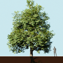 Thumbnail: Ahorn tree